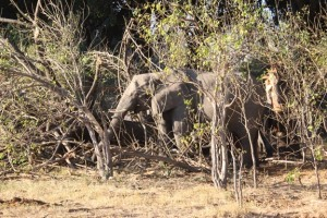 Elephants browsing on broken tree