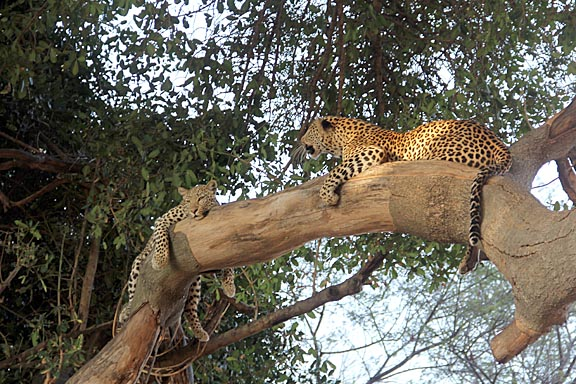 leopard pair