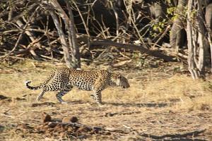 Mama Leopard c dumbos