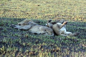 Snoozing lions