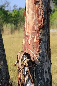 stripped tree trunk