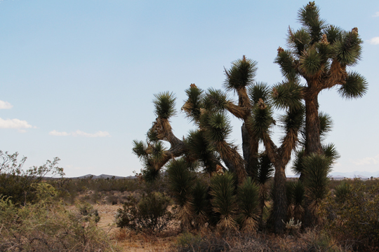 A Stand of Joshua Trees LORez