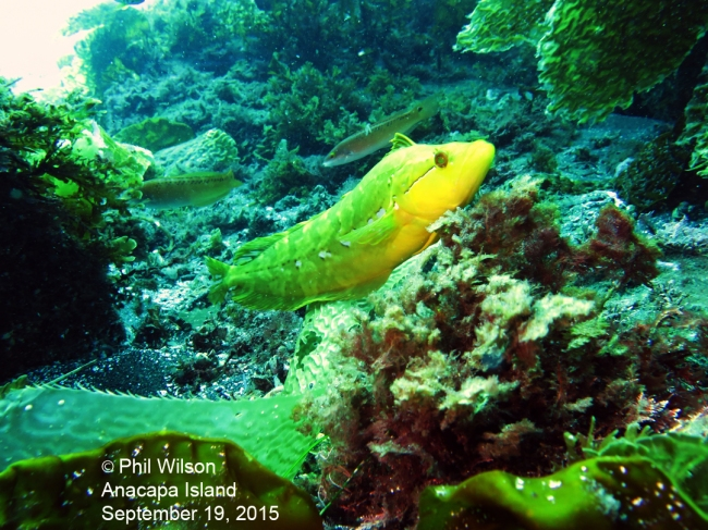 Yellow Kelpfish (Phil's pic)