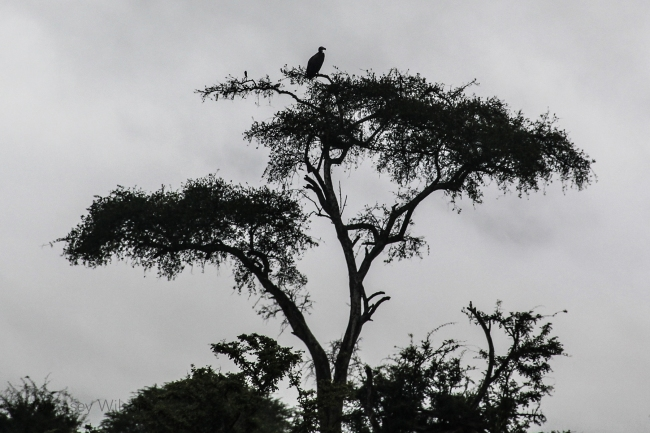 A Vulture in a Tree