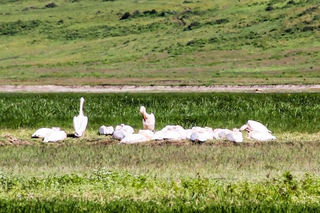 Great White Pelican (2)