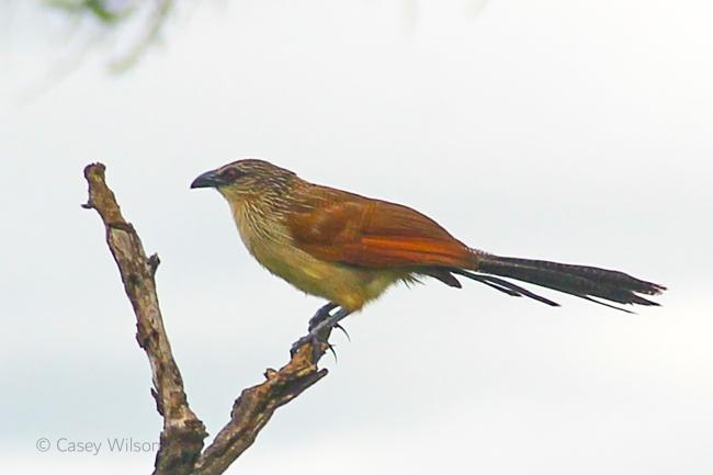 Grey-headed Sparrow (2)