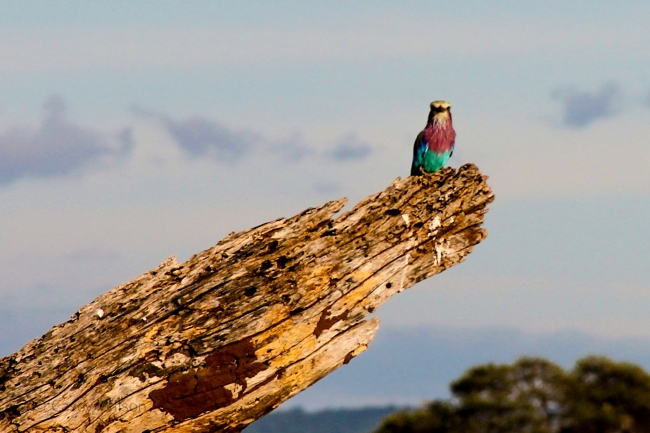 Lilac-breasted Roller (1)