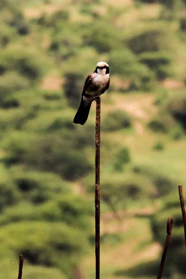 Northern White-crowned Shrike (1)
