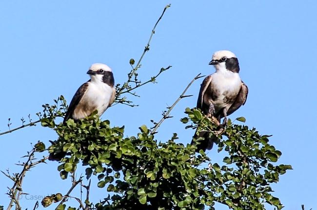 Northern White-crowned Shrike (2)