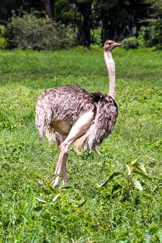 Ostrich(F) (2)
