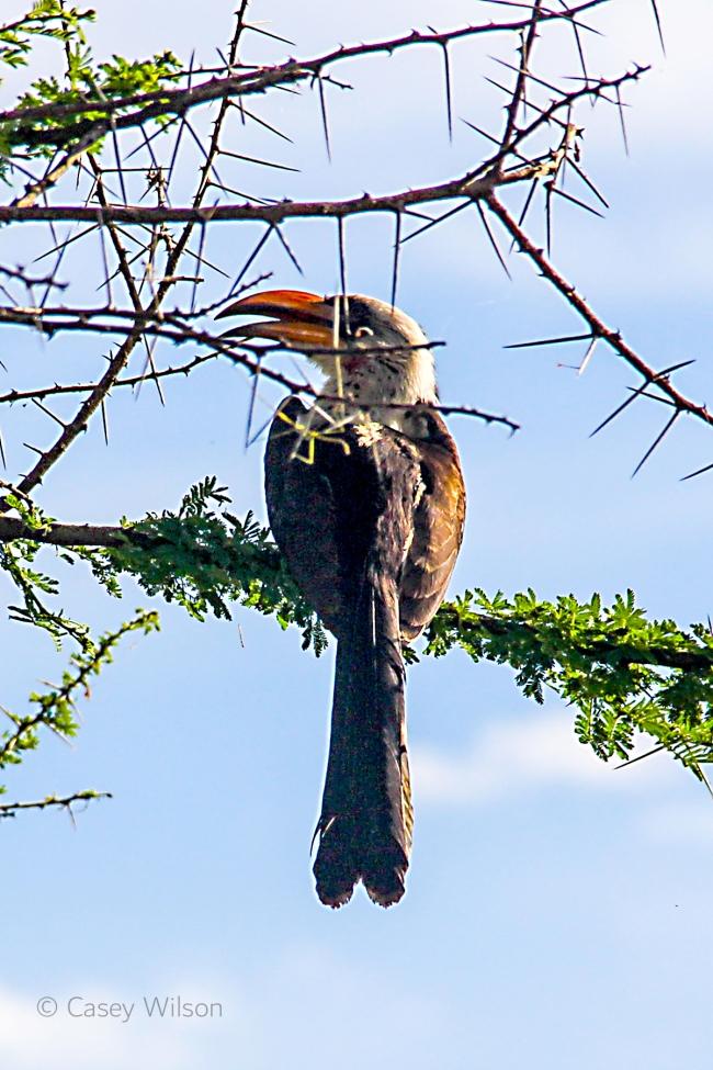 Red-billed Hornbill (1)