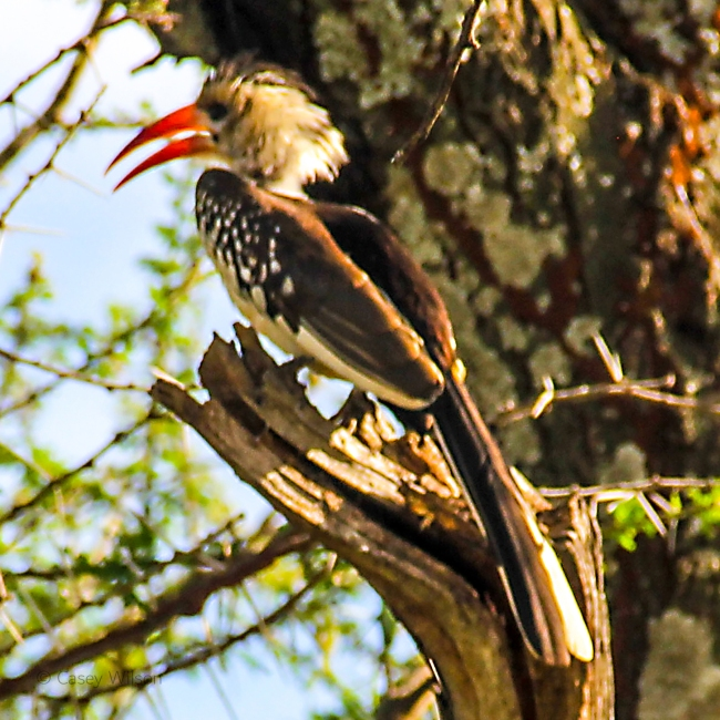 Red-billed Hornbill (2)