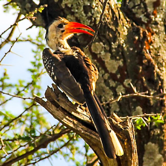 Red-billed Hornbill (3)