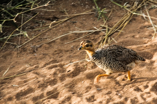 Red-necked Spurfowl Chick