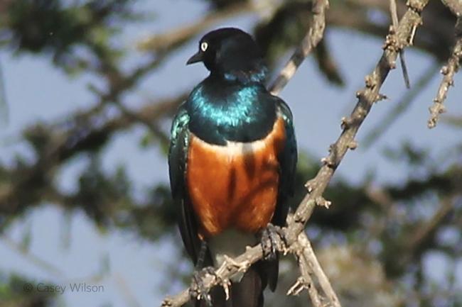 Superb Starling (1)