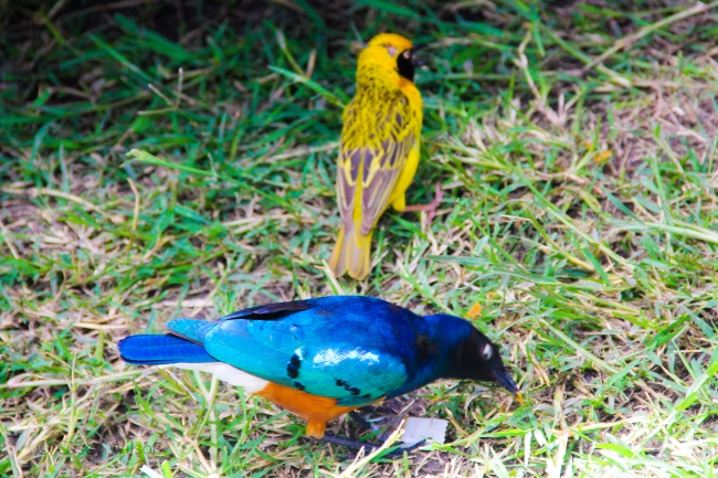 Superb Starling with Speke's Weaver