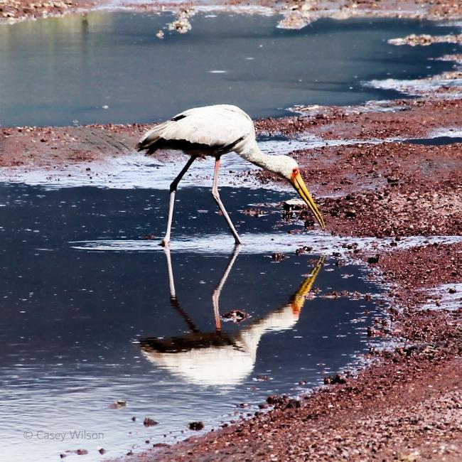 Yellow-billed Stork (2)