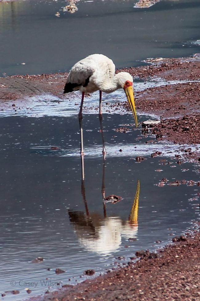 Yellow-billed Stork (3)