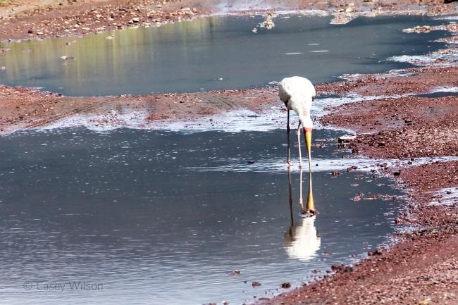 Yellow-billed Stork (4)